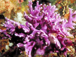 В мире насчитывается около 300 оттенков коралла, а разновидностей 2000.