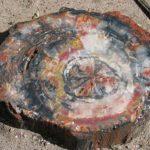 Окаменелое дерево и его лечебные и магические свойства